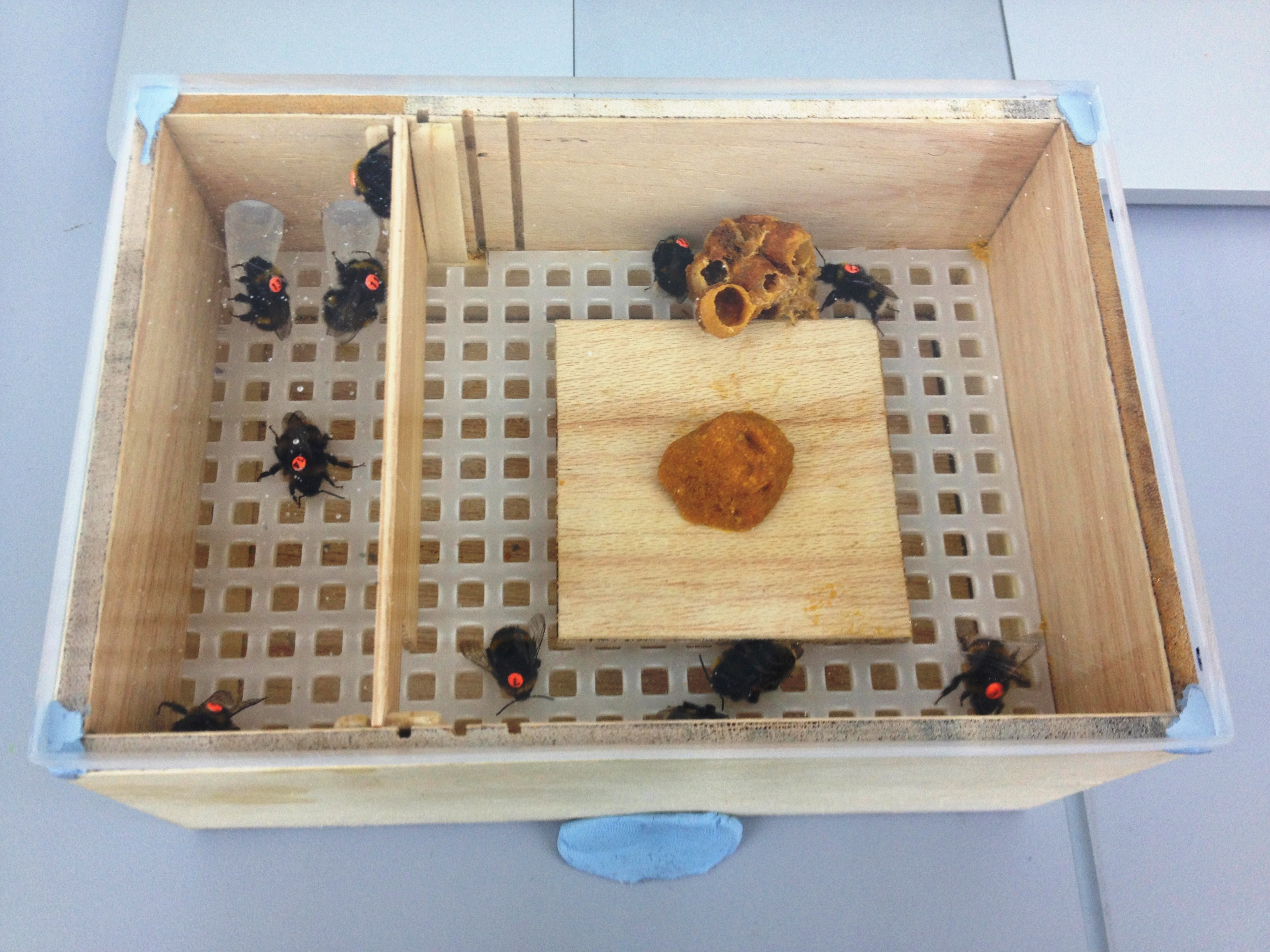 Figure 1. The first prototype of my microcolony set-up. The bees feed on a sugar solution from two Eppendorf tubes in the top left of the box. The orange ball in the middle is pollen and the lump off to the side is a piece of wax from the parental colony.